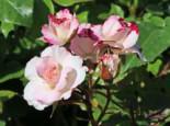 Beetrose 'Abigaile' ®, Rosa 'Abigaile' ®, Containerware