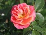 Beetrose 'Airbrush' ®, Rosa 'Airbrush' ®, Wurzelware