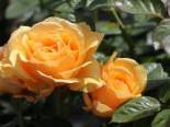 Beetrose 'Amber Queen' ®, Rosa 'Amber Queen' ®, Wurzelware