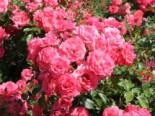 Beetrose 'Bad Birnbach' ®, Rosa 'Bad Birnbach' ® ADR-Rose, Containerware