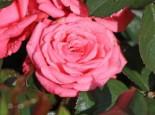 Beetrose 'Bella Rosa' ®, Rosa 'Bella Rosa' ®, Containerware