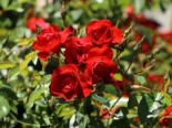 Rosa 'Black Forest Rose' ® ADR-Rose