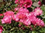 Beetrose / Bodendecker-Rose 'Maxi Vita' ®, Rosa 'Maxi Vita' ® ADR-Rose, Containerware