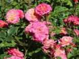 Rosa 'Country Girl' ®