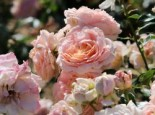 Beetrose 'Cremosa' ®, Rosa 'Cremosa' ®, Wurzelware