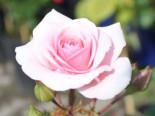 Beetrose 'Diadem' ®, Rosa 'Diadem' ®, Wurzelware