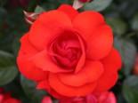 Beetrose 'Domstadt Fulda' ®, Rosa 'Domstadt Fulda' ®, Wurzelware