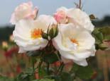 Beetrose 'Eisprinzessin' ®, Rosa 'Eisprinzessin' ®, Wurzelware