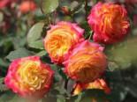 Beetrose 'Gartenspaß', Rosa 'Gartenspaß', Wurzelware