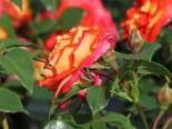 Beetrose 'Gebrüder Grimm' ® / 'Joli Tambour', Rosa 'Gebrüder Grimm' ® / 'Joli Tambour' ADR-Rose, Wurzelware
