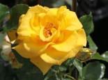 Beetrose 'Goldquelle' ®, Rosa 'Goldquelle' ®, Containerware
