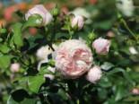Beetrose 'Hans Gönewein Rose', Rosa 'Hans Gönewein Rose', Containerware