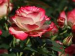 Beetrose 'Jubilee du Prince de Monaco' ®, Rosa 'Jubilee du Prince de Monaco' ®, Wurzelware