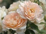 Beetrose 'Lions-Rose' ®, Rosa 'Lions-Rose' ® ADR-Rose, Containerware