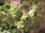 Rosa 'Lovely Green' ®