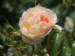 Beetrose 'Marie Antoinette', Rosa 'Marie Antoinette', Wurzelware