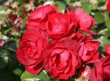 Beetrose 'Milano' ®, Rosa 'Milano' ®, Wurzelware