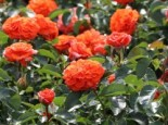 Beetrose 'Orangerie' ®, Rosa 'Orangerie' ® ADR-Rose, Wurzelware