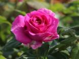 Beetrose Parfuma ® 'Carmen Würth', Rosa Parfuma ® 'Carmen Würth' ADR-Rose, Containerware