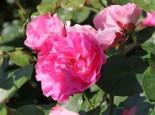 Beetrose 'Playrose' ®, Rosa 'Playrose' ®, Wurzelware