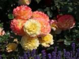 Beetrose 'Rose der Hoffnung' ®, Rosa 'Rose der Hoffnung' ®, Containerware