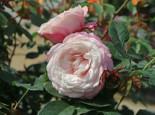 Beetrose 'Rosenfaszination' ®, Rosa 'Rosenfaszination' ® ADR-Rose, Containerware