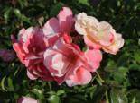 Beetrose 'Roseromantic' ®, Rosa 'Roseromantic' ®, Wurzelware