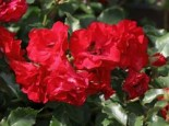 Beetrose 'Rotilia' ®, Rosa 'Rotilia' ® ADR-Rose, Containerware