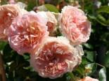 Beetrose 'Sangerhäuser Jubiläums-Rose' ® / Cervia, Rosa 'Sangerhäuser Jubiläums-Rose' ® / Cervia, Wurzelware