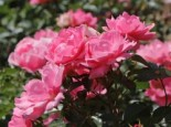 Rosa 'Sommerwind' ®