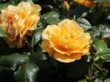 Beetrose 'Tantaus Bernstein-Rose' ®, Rosa 'Tantaus Bernstein-Rose' ®, Containerware
