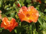 Rosa 'Tequila' ® 2003