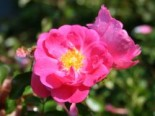 Beetrose / Bodendecker-Rose 'Neon' ®, Rosa 'Neon' ® ADR-Rose, Wurzelware