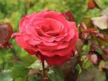 Beetrose/Edelrose 'Duftwolke' ®, Stamm 90 cm, Rosa 'Duftwolke' ®, Stämmchen