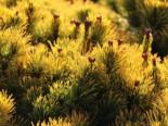 Berg-Kiefer 'Wintersonne', 25-30 cm, Pinus mugo 'Wintersonne', Containerware