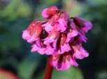 Bergenie 'Admiral', Bergenia cordifolia 'Admiral', Topfware