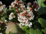 Bergenie 'Bach', Bergenia cordifolia 'Bach', Topfware
