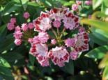 Berglorbeer / Lorbeerrose 'Minuet', 25-30 cm, Kalmia latifolia var. myrtifolia 'Minuet', Containerware