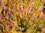 Besenheide / Sommerheide 'Boskoop', 15-20 cm, Calluna vulgaris 'Boskoop', Topfware