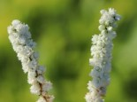 Besenheide 'White Coral', 10-15 cm, Calluna vulgaris 'White Coral', Topfware