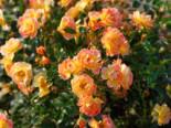 Bienenweide®-Rose 'Fruity', Rosa Bienenweide® 'Fruity', Wurzelware