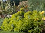 Bläuliche Wolfsmilch, Euphorbia seguieriana subsp. niciciana, Topfware