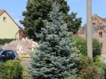 Blaue Stechfichte 'Blue Mountain', 40-60 cm, Picea pungens 'Blue Mountain', Containerware