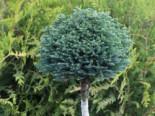 Blaue Zwerg-Zypresse 'Blue Moon' ®, Stamm 30-40 cm, Chamaecyparis pisifera 'Blue Moon' ®, Stämmchen