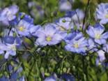 Blauer Stauden-Lein 'Nanum Saphir', Linum perenne 'Nanum Saphir', Topfware