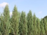 Blauer Zypressen-Wacholder 'Blue Arrow', 60-80 cm, Juniperus scopulorum 'Blue Arrow', Containerware
