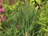 Blaugraues Präriegras 'Prairie Blues', Schizachyrium scoparium 'Prairie Blues', Topfware