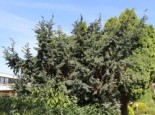 Blauzeder-Wacholder 'Meyeri', 30-40 cm, Juniperus squamata 'Meyeri', Containerware