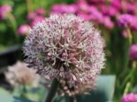 Blauzungen-Lauch, Allium karataviense, Topfware