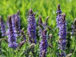 Blüten-Salbei 'Blauhügel', Salvia nemorosa 'Blauhügel', Topfware